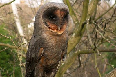 Annie The Owl