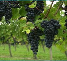 Les Anglais produisent du «vin urbain»